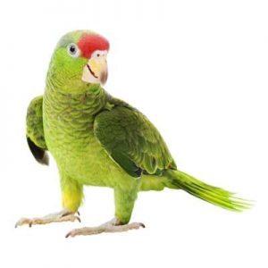 Medium Parrots